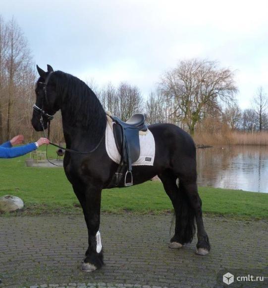 Фризская кобыла Чистокровная лошадь