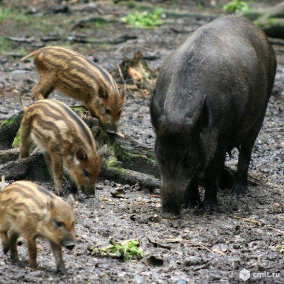 Поросята дикой свиньи.