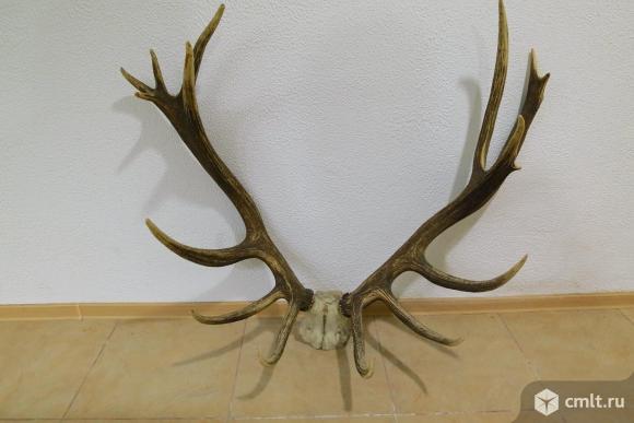 Рога оленя, редкий экземпляр. Фото 1.
