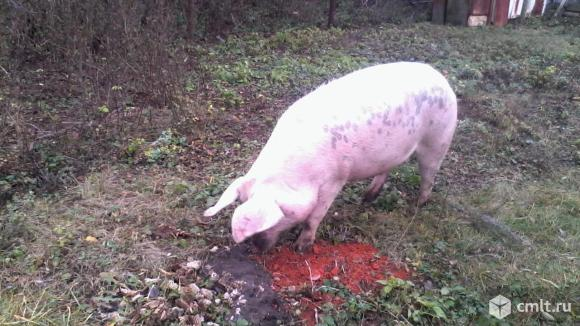 Продаю свиноматок, хряка.