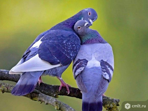 Продам разных голубей. Фото 1.