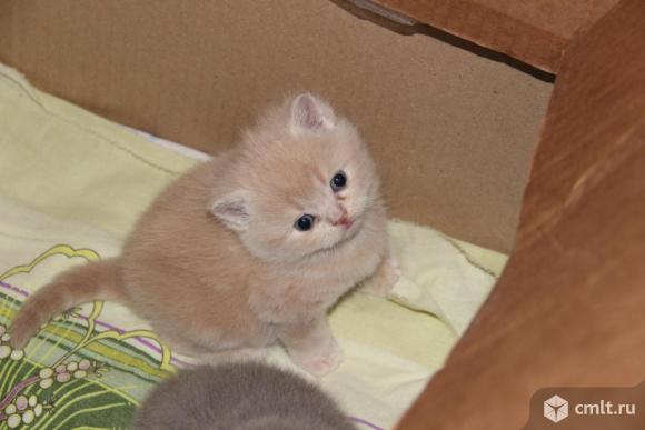 Продам вислоухих  и  прямоухих котят