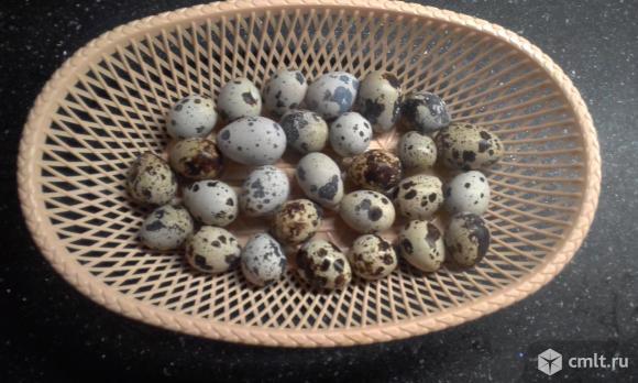 Инкубационное яйцо перепелов. Птенцы  несушки самцы. Фото 1.