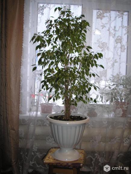 Комнатное растение фикус. Фото 1.