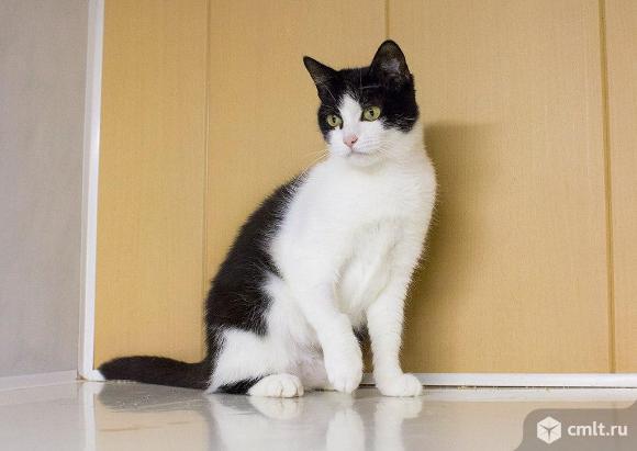 Потрясающая кошка с гордым именем Шанель