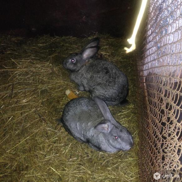 Продаются кролики живым весом. Фото 1.
