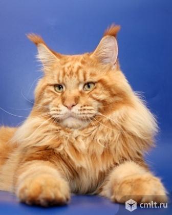 Продам котеночка мейн кун