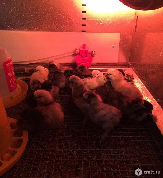 Инкубационное яйцо, цыплята китайских шелковых кур