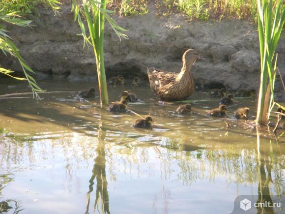 Подсадные утки и селезни для охоты. Фото 1.