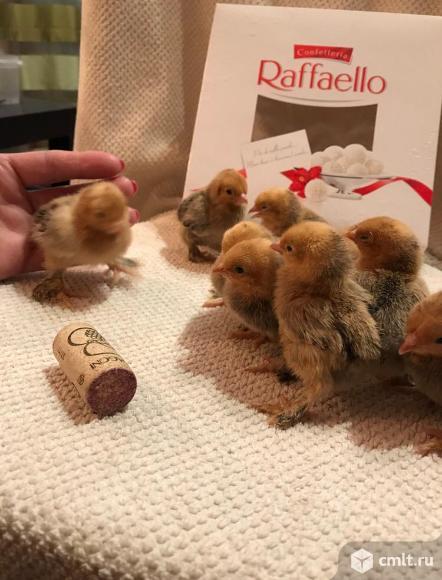 Цыплята  кур породы мильфлер