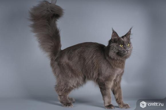 Мейн-кун котята, возраст от 3 мес., титулованные родители