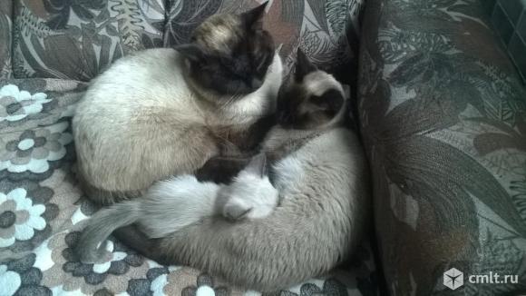 Тайский котенок. Фото 1.