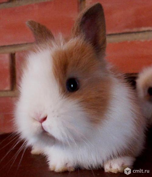 """Питомник """"Добрый кролик"""" карликовый, декоративный кролик- 1200"""