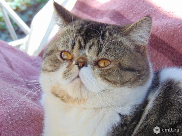 Котик- экзотик для вязки. Фото 1.