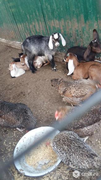 Дойные козы, козочки и козлики. Возможна доставка.