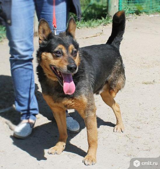Овчаристый пес Каштан