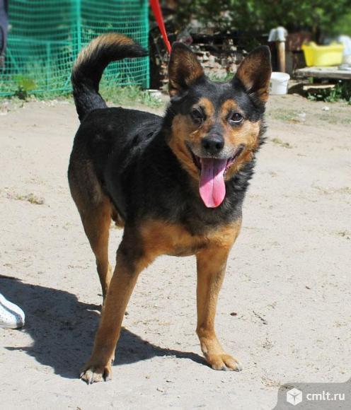 Овчаристый пес Каштан. Фото 1.