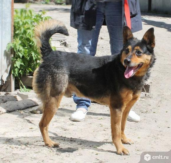 Овчаристый пес Каштан. Фото 5.