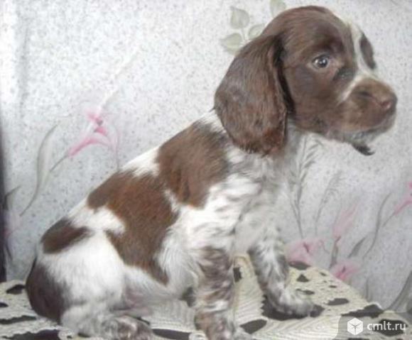 Продам щенка русского коккер-спаниэля