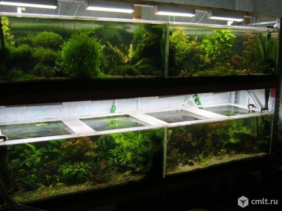 Растения аквариумные редкие и не очень. Фото 1.