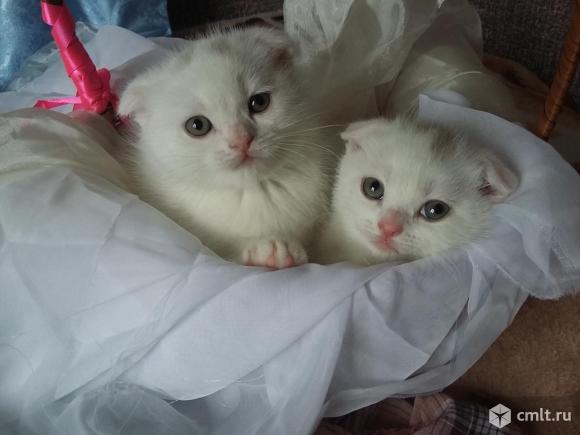 Шотландского котенка, прямоухий, плюшевый, мальчик