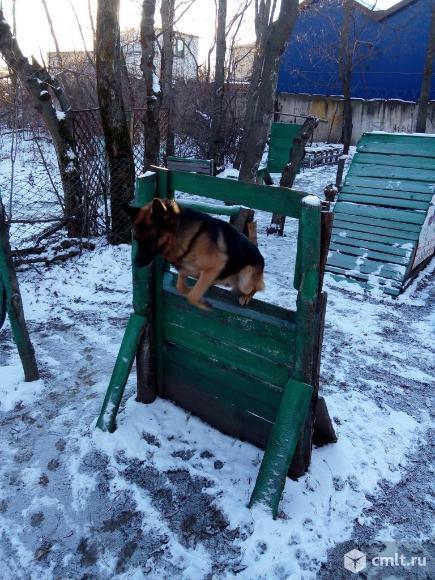 Щенки от профессионально подготовленных собак. Фото 1.