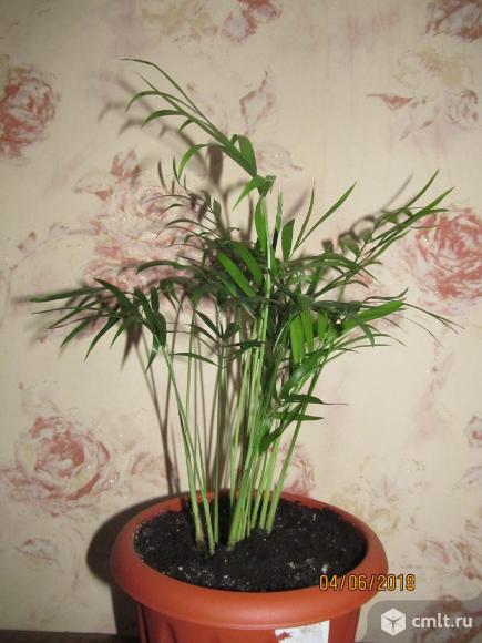 Бамбуковая пальма  хамедорея. Фото 1.