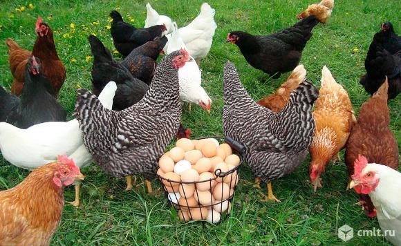 молодка на яйцо. Фото 1.