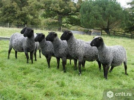 Овцы Романовской породы. Фото 1.