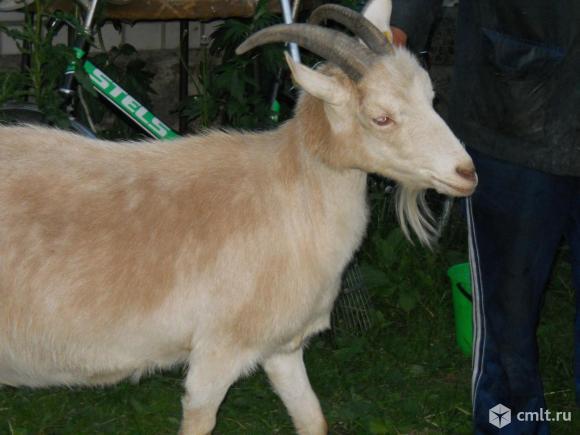 Дойная коза. Фото 1.