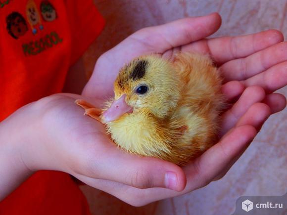 Яйцо  белых  индоуток..... Фото 1.