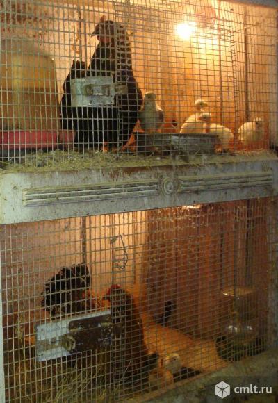 Цыплят суточных и старше,домашних,разных пород,продам. Фото 1.