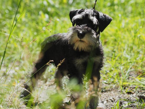 Подрощенные щенки цвершнауцера ч/с. Фото 1.