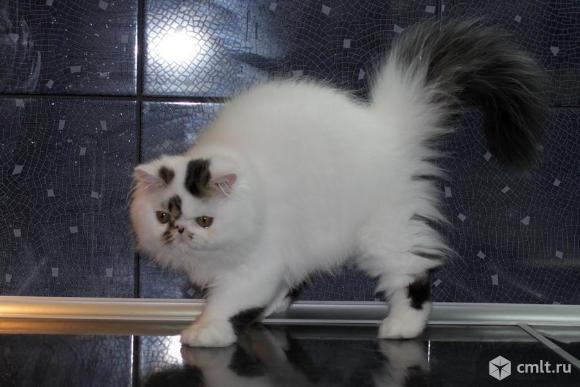 Котята персы экзоты