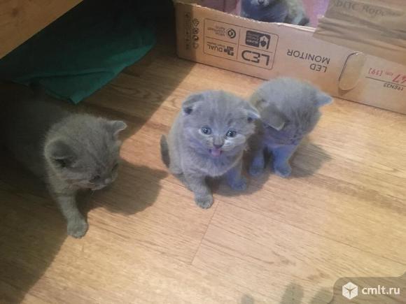 Продаются чистокровные шотландские котята