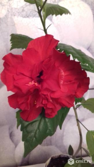 Китайская роза махровая. Фото 1.