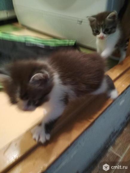 Котят, трехцветные, игривые, к лотку приучены, едят сами