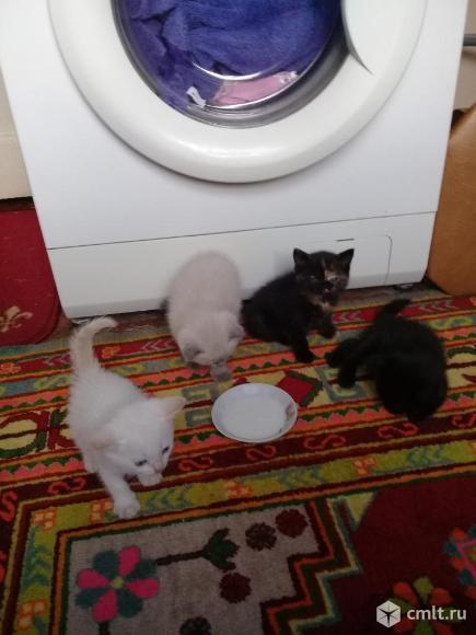 Вислаухие шотландские котята