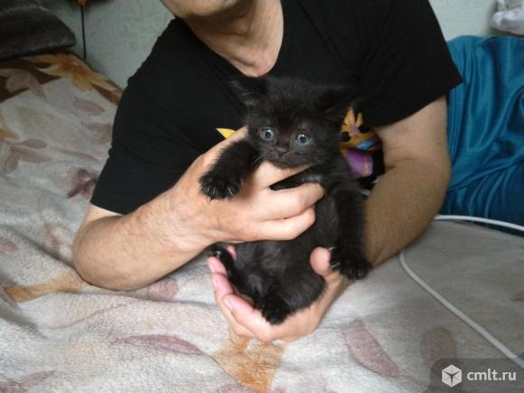 Котенок от породистой кошки