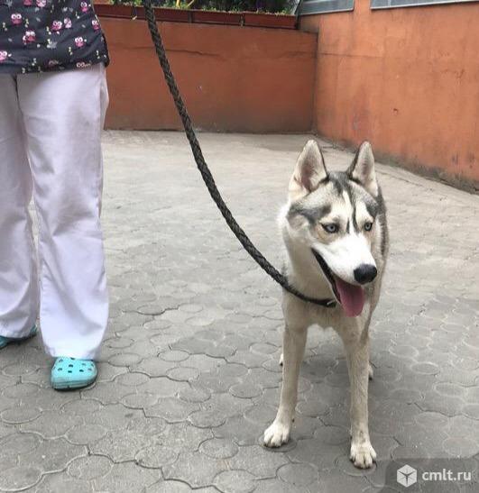 Потерялась собака хаски