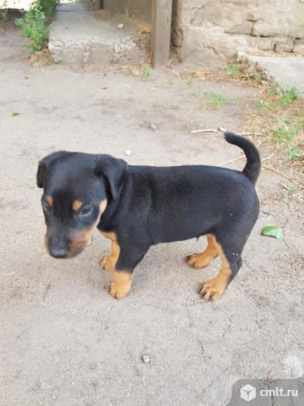 Ягдтерьера щенок, мальчик, 1.5 мес., от раб. родителей