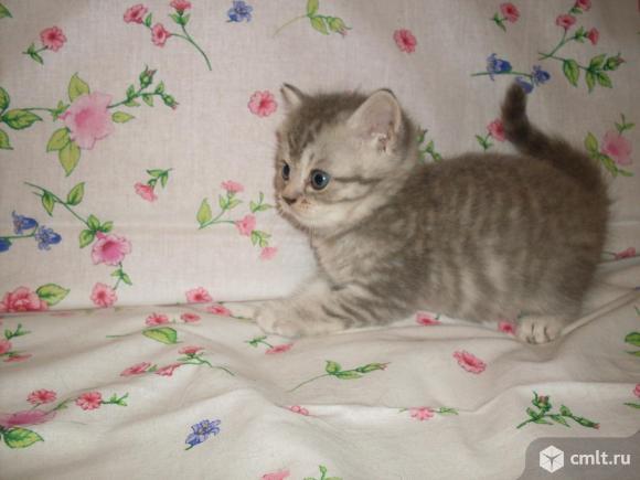 Шотландские котята. Фото 4.