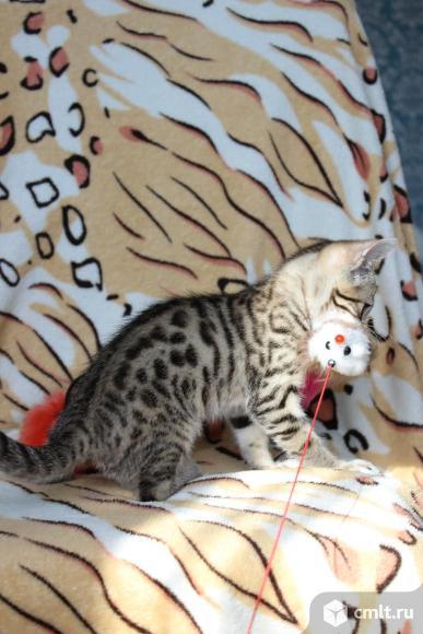 Красивые бенгальские котята