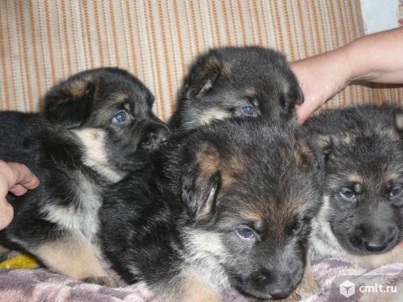 Продам щеняток немецкой овчарочки. Фото 1.