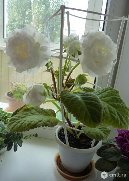Глоксиния с белыми махровыми цветами. Фото 1.