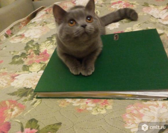 Продажа! голубые британцы котята