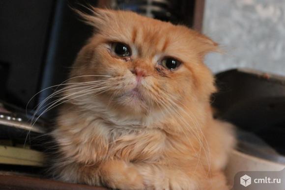 Шотландский шикарный вислоухий кот ищет хозяина