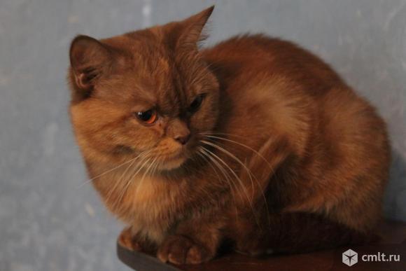 Взрослая кошка окрас циннамон черепаховый, возраст 3 года. Кошка безумно красивая, крупная, фото не в состоянии передать ее красоты.  Характер спокойный ласковый, к чужим настороженный.