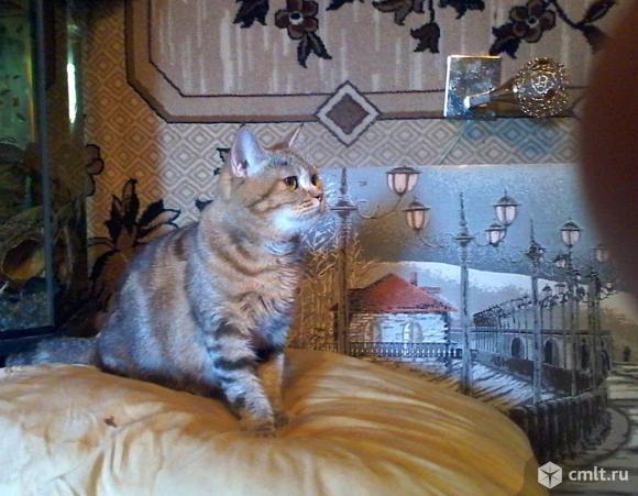Кошка шотландская Василиса шикарная