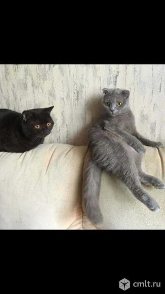 Шотландские вислоухие котята. Фото 4.